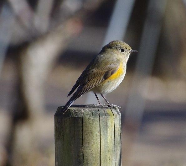日本の野鳥識別図鑑 分類ツリートップ | 日本の野鳥識別図鑑