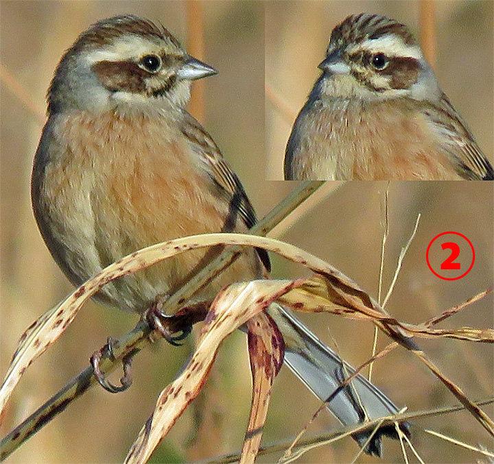 ホオジロ科も難しい | 日本の野鳥識別図鑑
