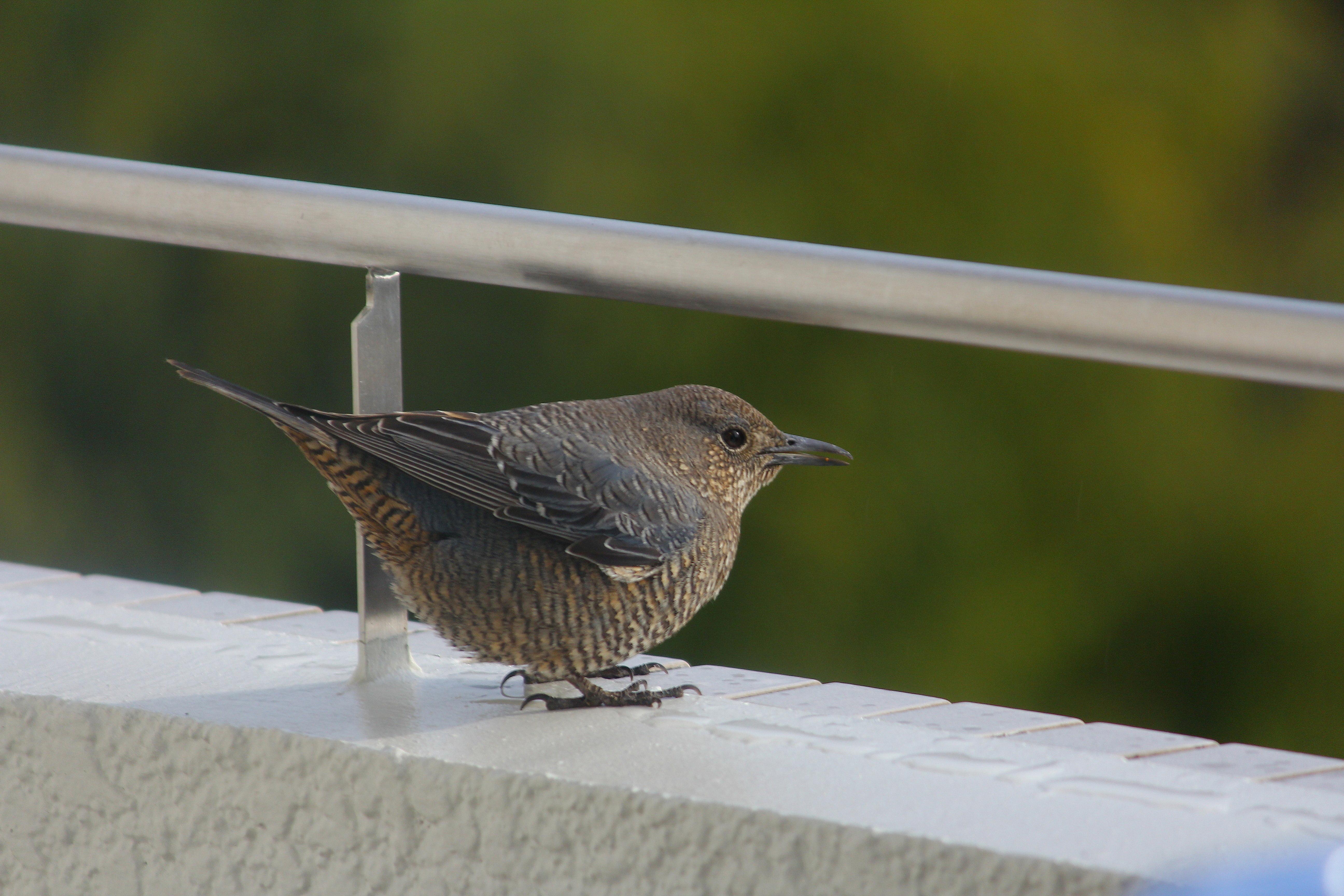 日本の野鳥識別図鑑