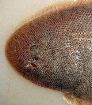 WEB魚図鑑コウライアカシタビラメ