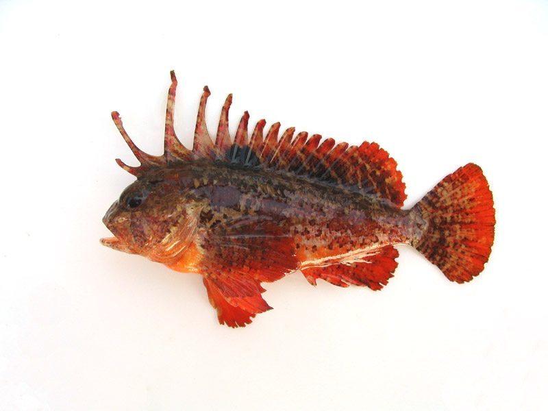 ハオコゼ   WEB魚図鑑