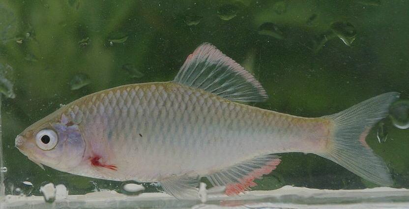 ヤリタナゴ | WEB魚図鑑