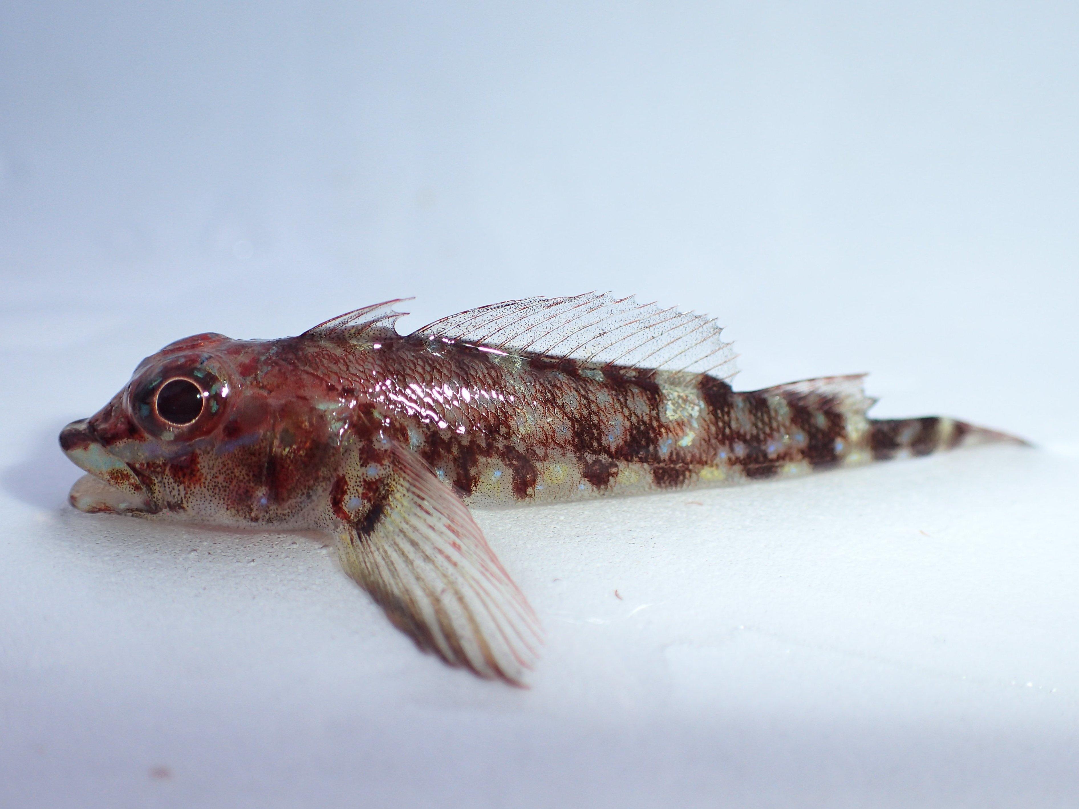 WEB魚図鑑アヤヘビギンポ