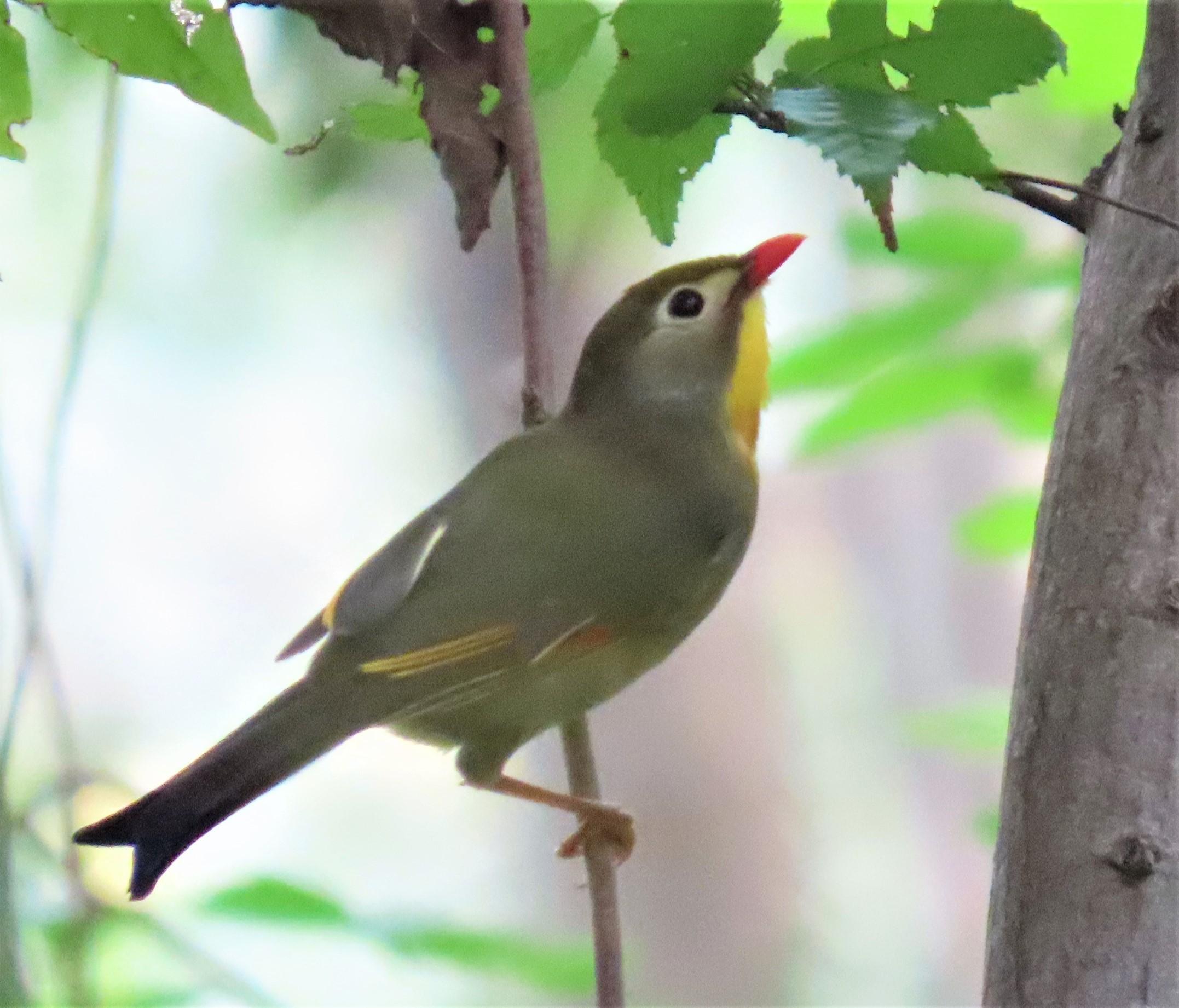 日本の野鳥識別図鑑ソウシチョウ