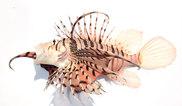 フサカサゴ科   WEB魚図鑑