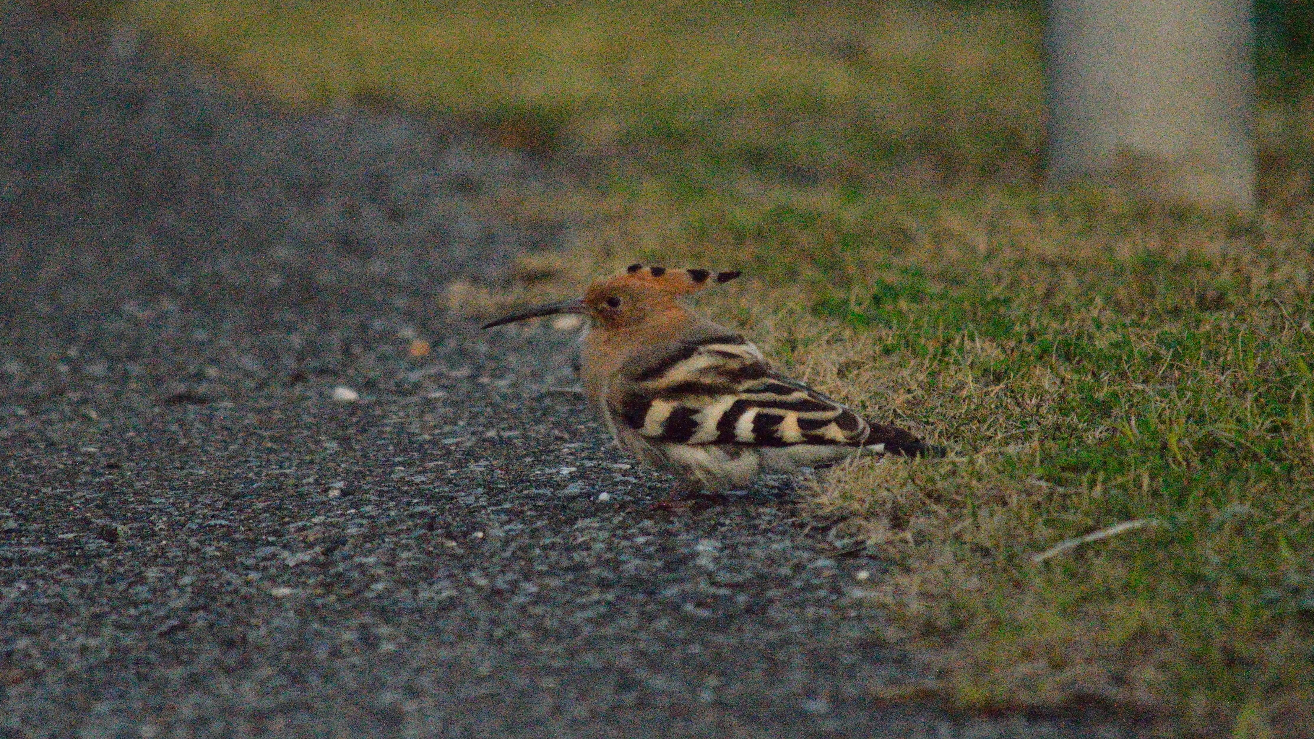 日本の野鳥識別図鑑ヤツガシラ科ヤツガシラ
