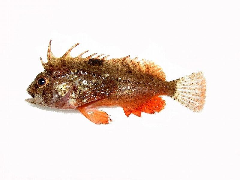 ハオコゼ (2015.11.21)   WEB魚図鑑