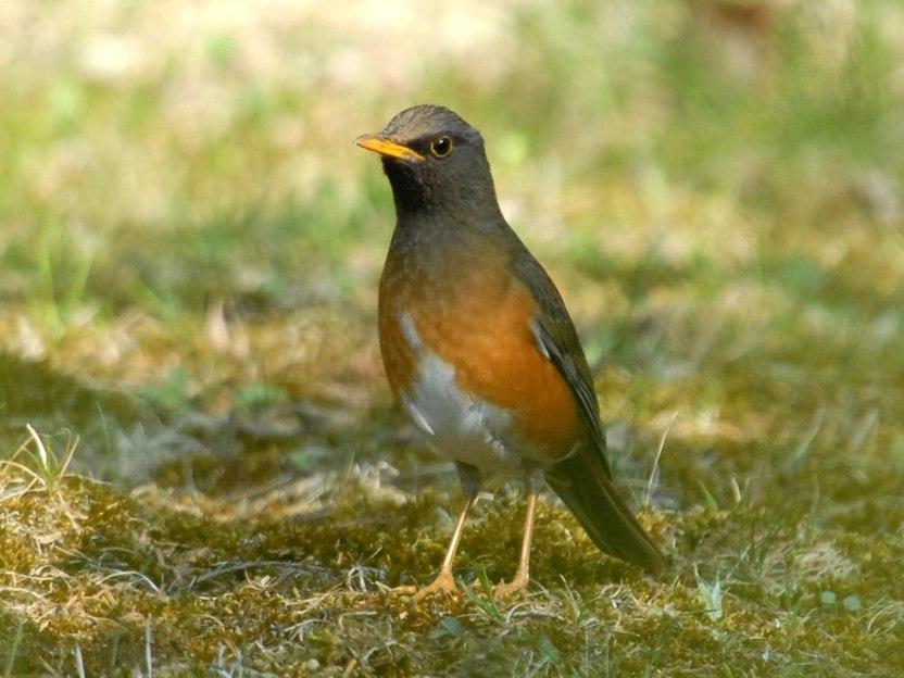 アカハラ   日本の野鳥識別図鑑