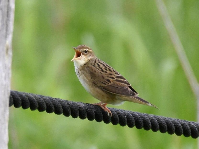 マキノセンニュウ | 日本の野鳥...