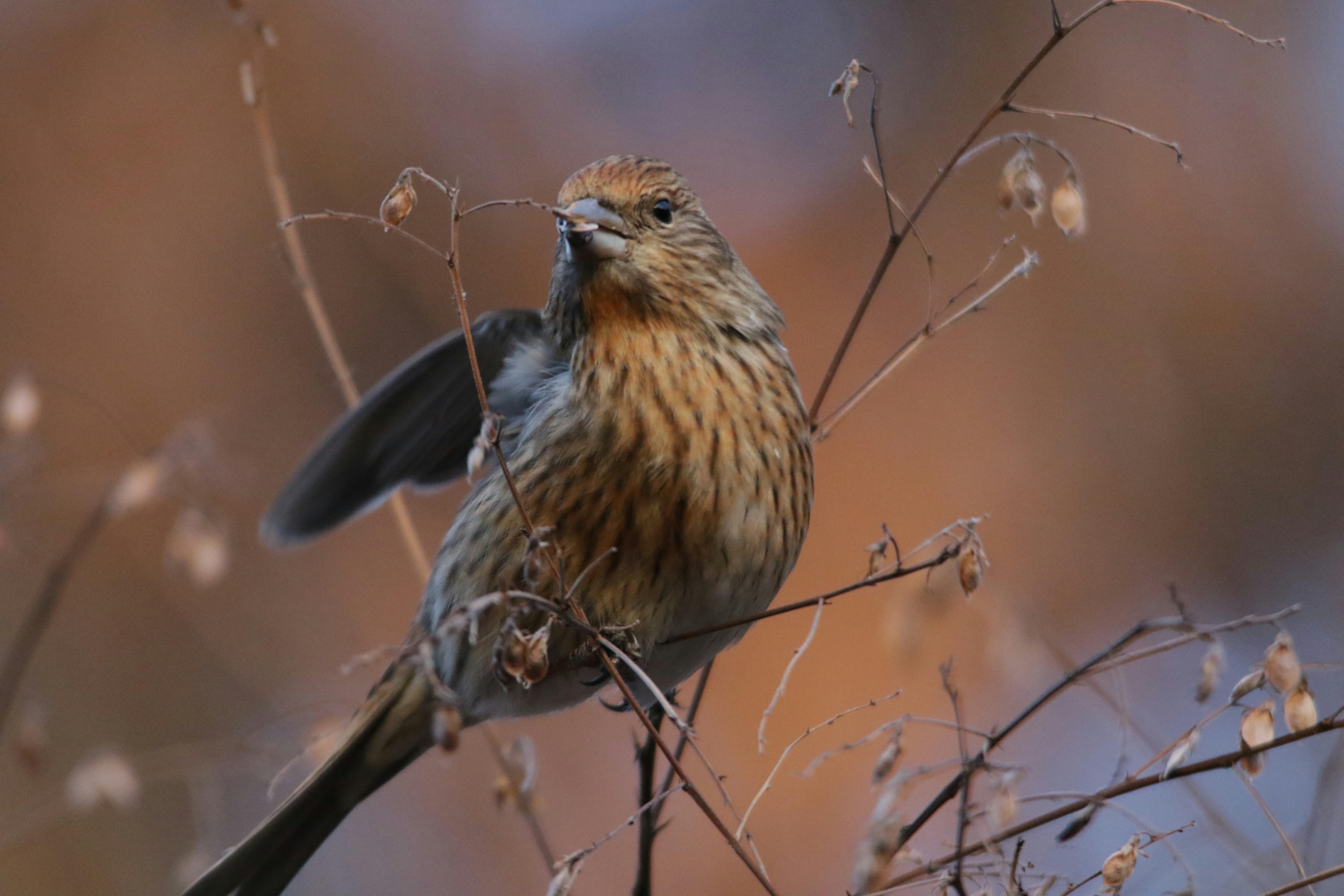 日本の野鳥識別図鑑オオマシコ