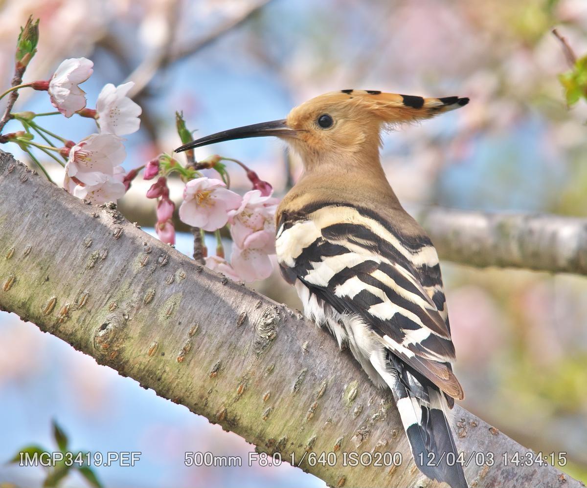 日本の野鳥識別図鑑ヤツガシラ